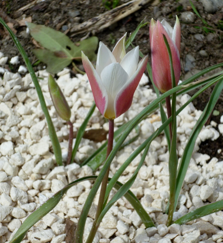 Tulipa clusiana Lady Jane 2 0318