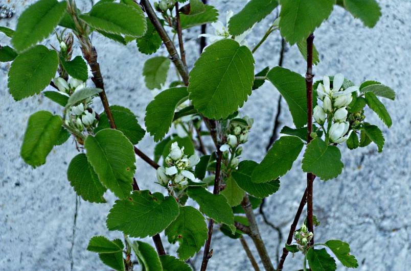 Amelanchier alnifolia Obelisk 0418