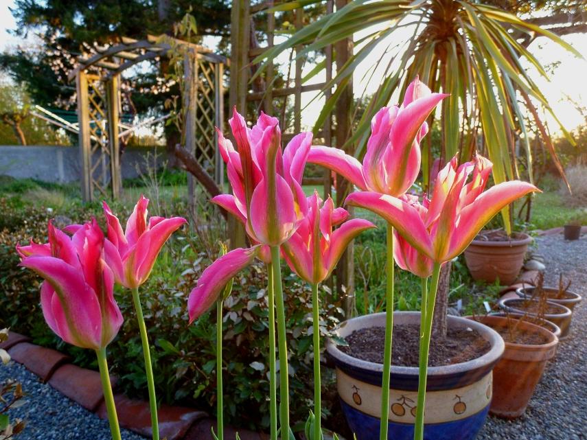 Virichic tulip 0418