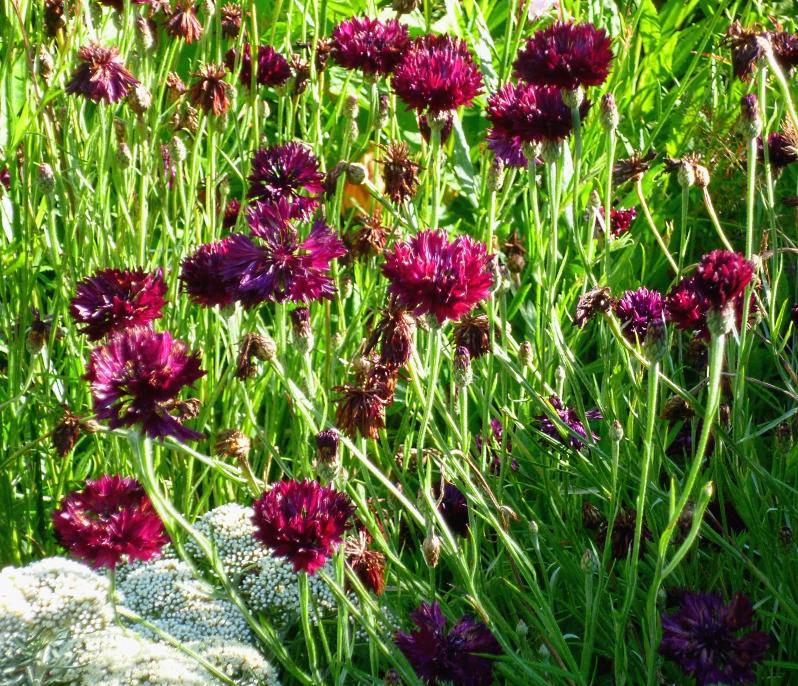 Centaurea Black Ball 2 618