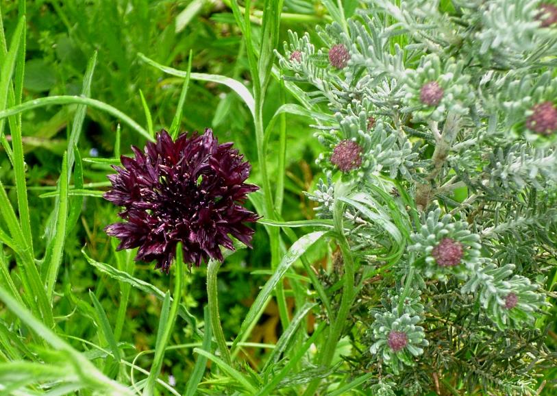 Centaurea Black Ball 518