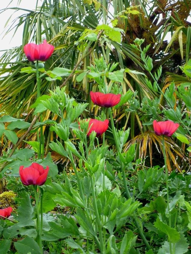 Ladybird poppy 618