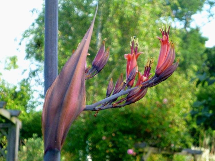 Phormium flowers 618