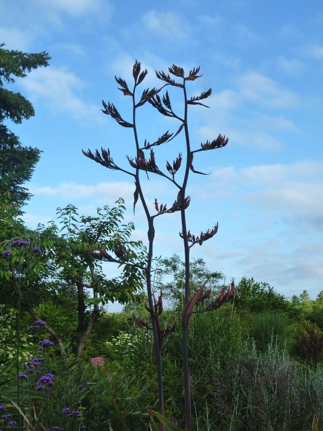 Phormium flowerspikes 618