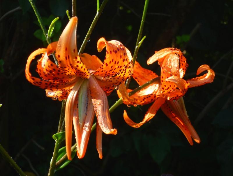 lilium Flore Pleno 718