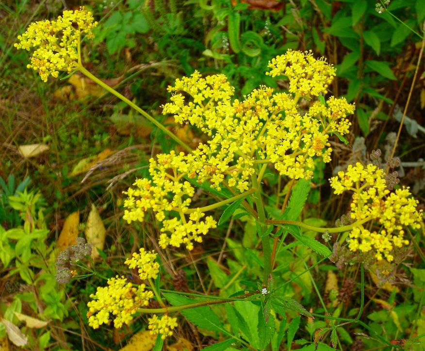 Patrinia scabiosifolia 718