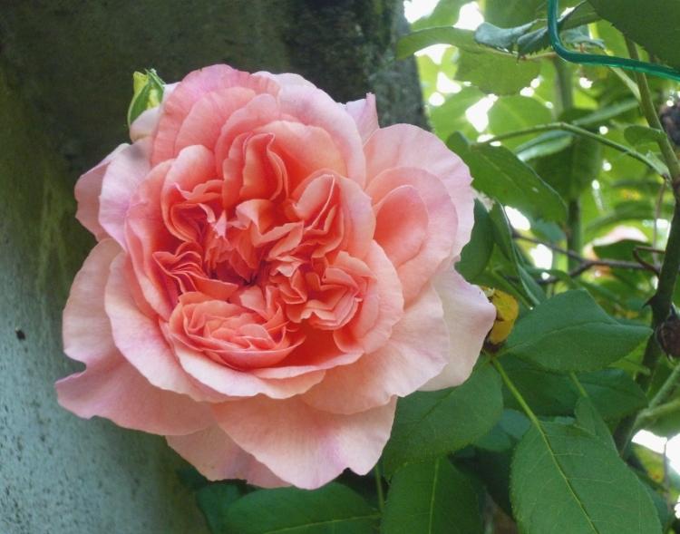 Rosa Crepuscule 718