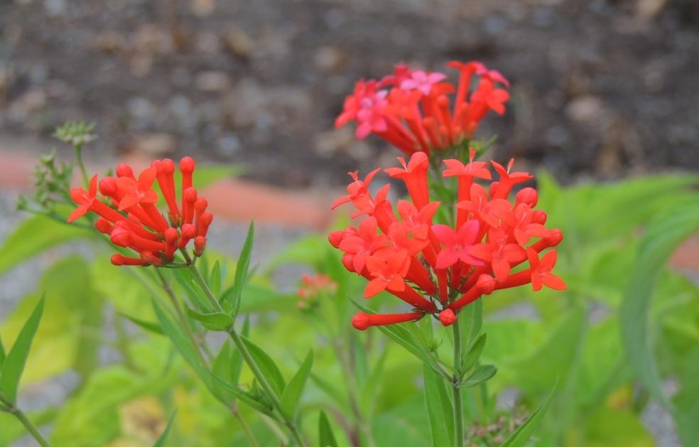 Bouvardia ternifolia 818
