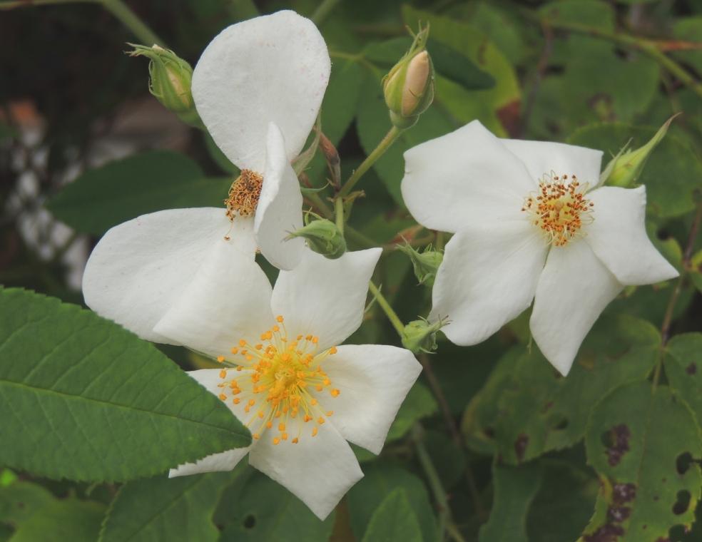 Rosa moschata 818