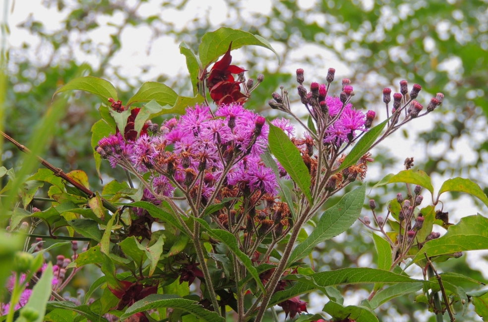 Vernonia crinita Mammuth 818