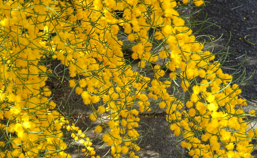 Acacia havilandiorum Canb Bot 1018