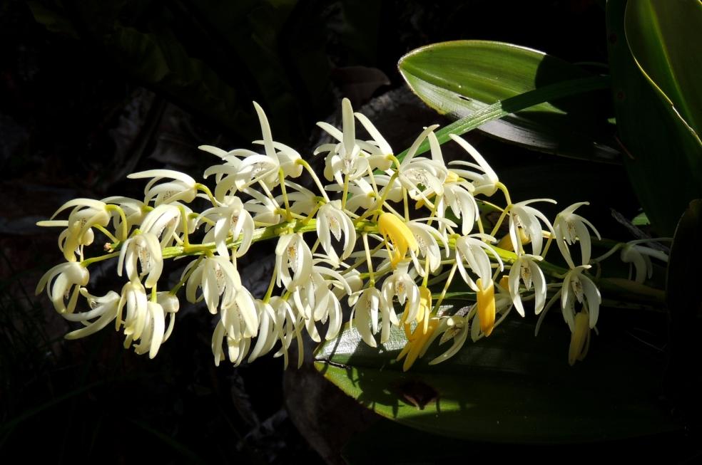 Dendrobium Canb Bot 1018