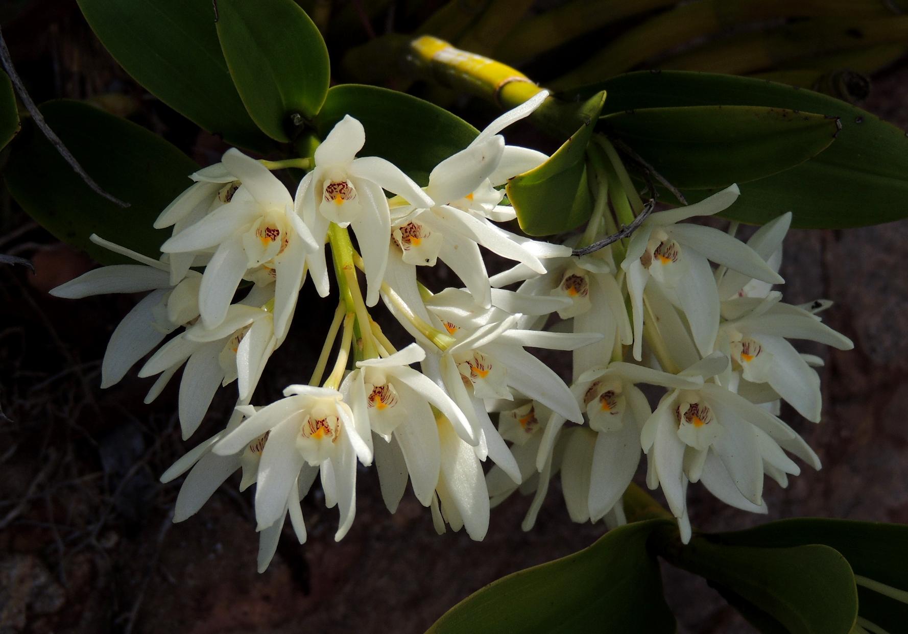 Dendrobium falcorostrum Canb Bot 1018