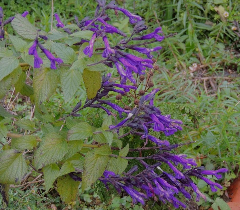 Salvia Amistad 0119