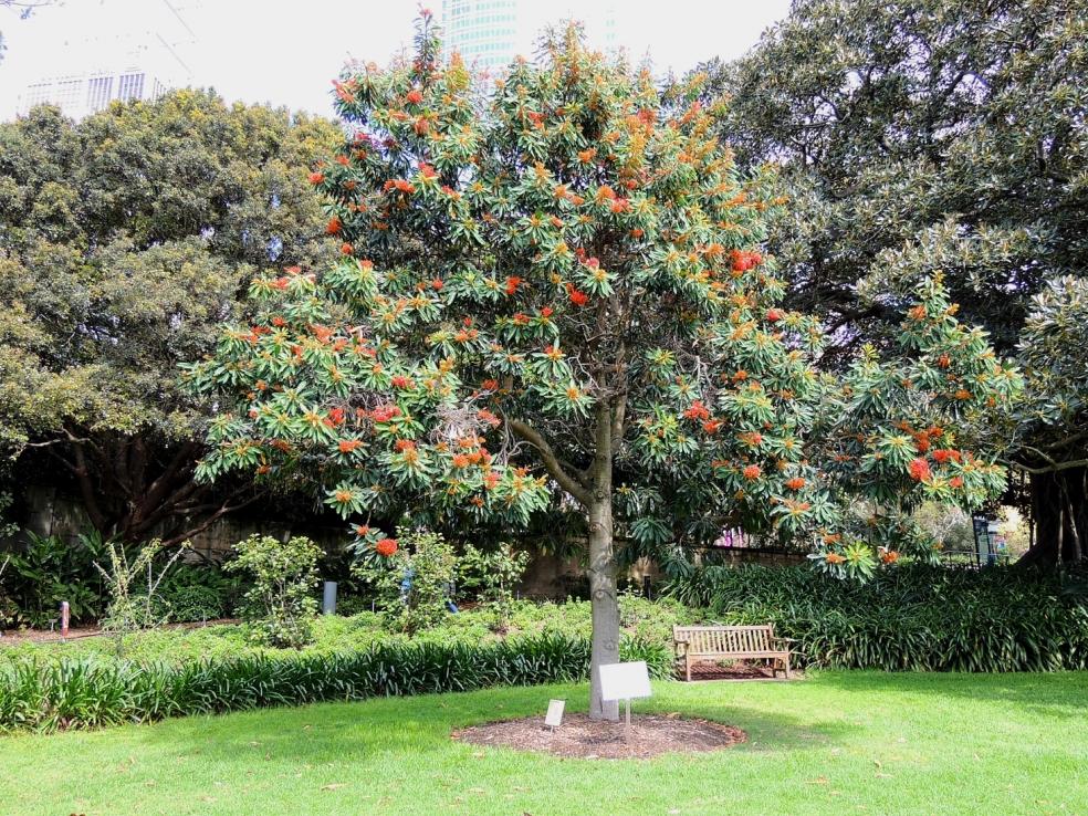 alloxynon flammeum red silky oak bot gdn sydney 1018