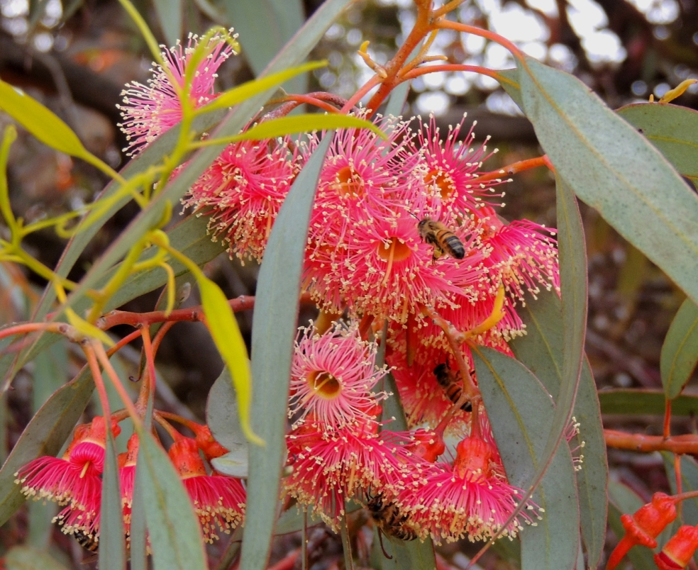 corymbia flowering gum 1018