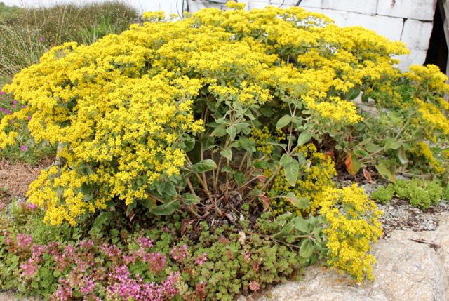eriogonum allennii little rascal the garden professors