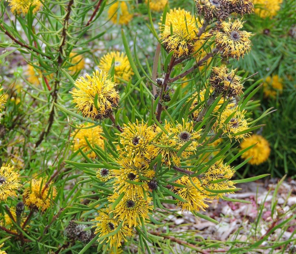 isopogon anemonifolius sydney bot 1018