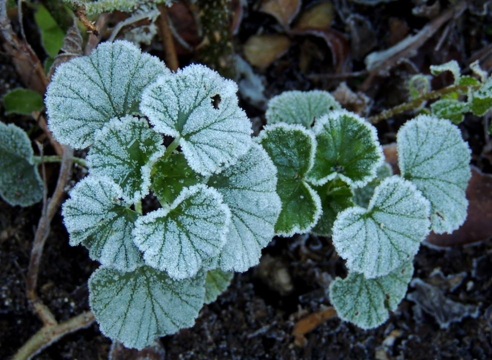 pelargonium sidoides 0119
