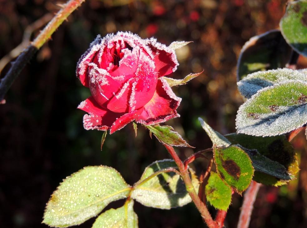 rosa ld braithwaite 0119