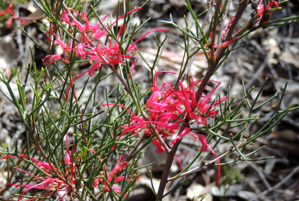 Grevillea anon Canb Bot 1018