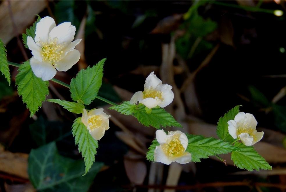 Kerria japonica Albiflora 2 0319