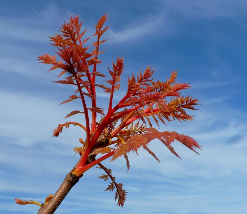 Koelreuteria Coral Sun 0418