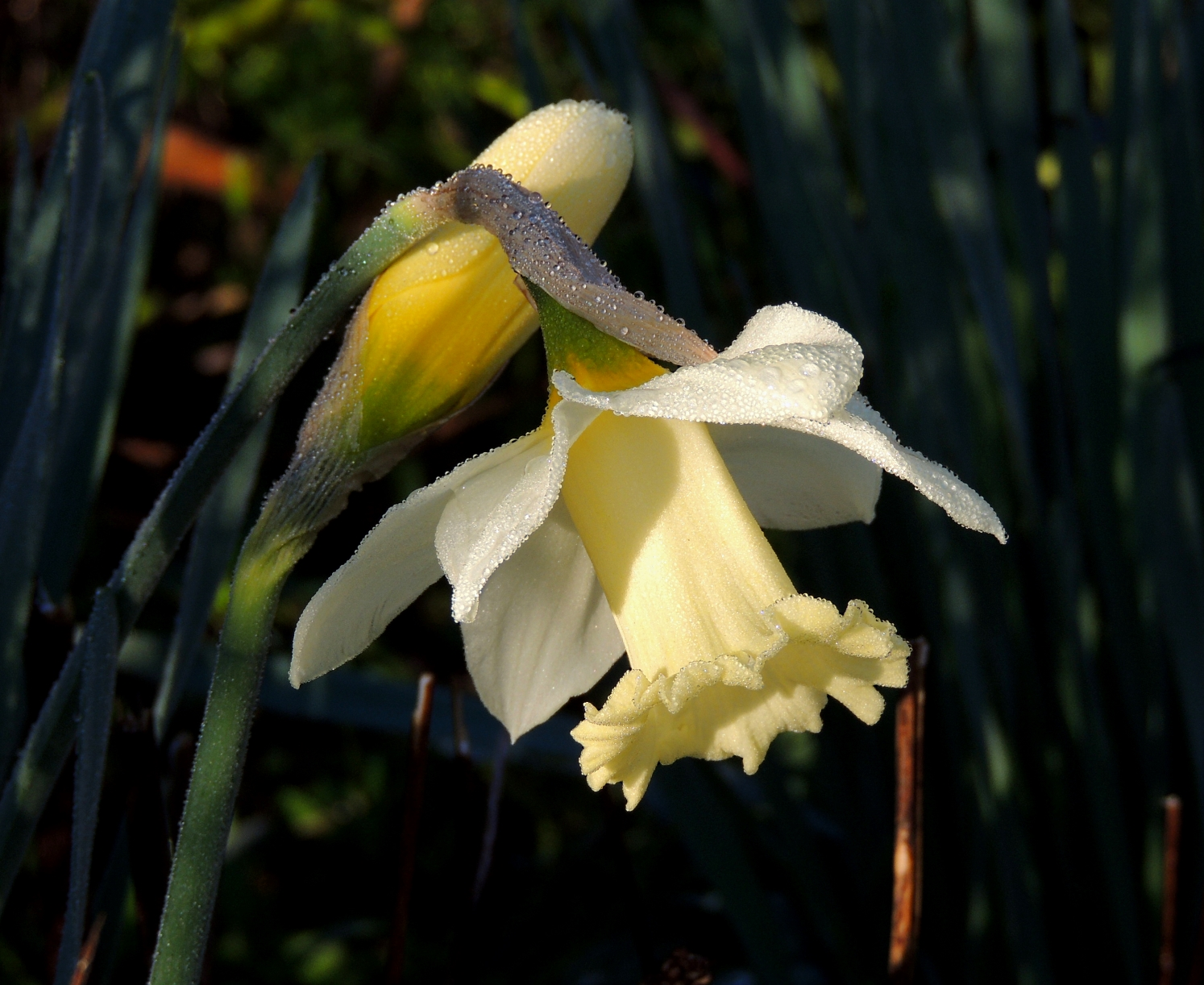 March daffs 0319