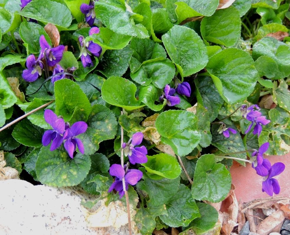 Wild violets 0319