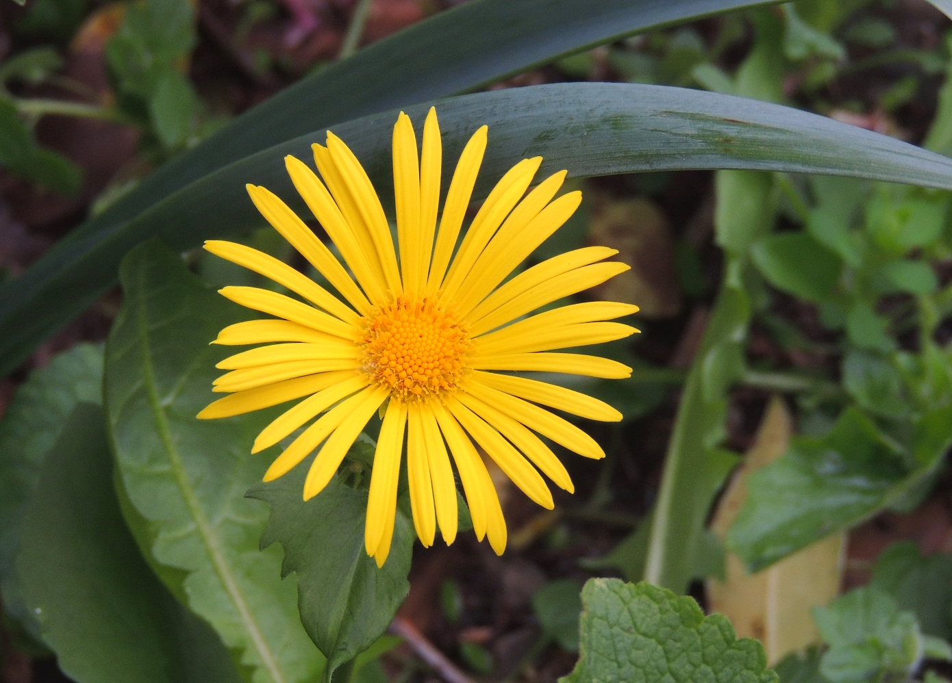 Doronicum Little Leo 0419