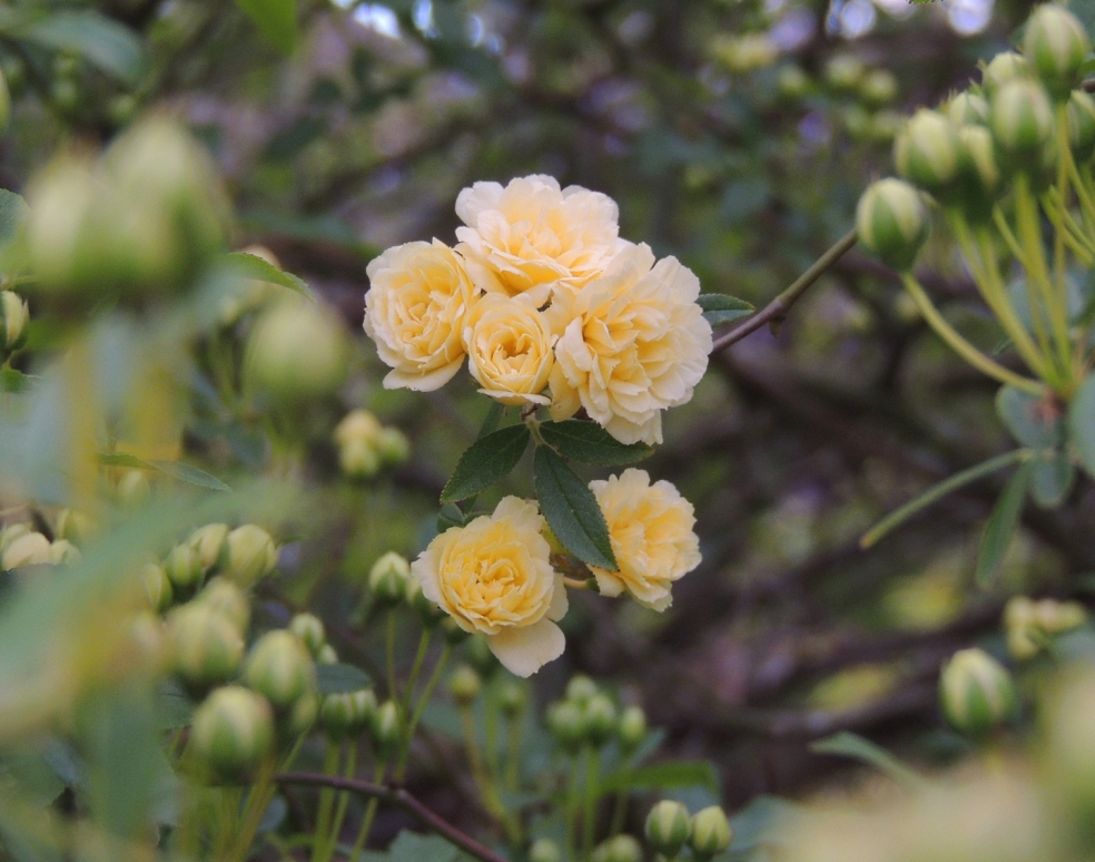 Rosa banksiae lutea 0419