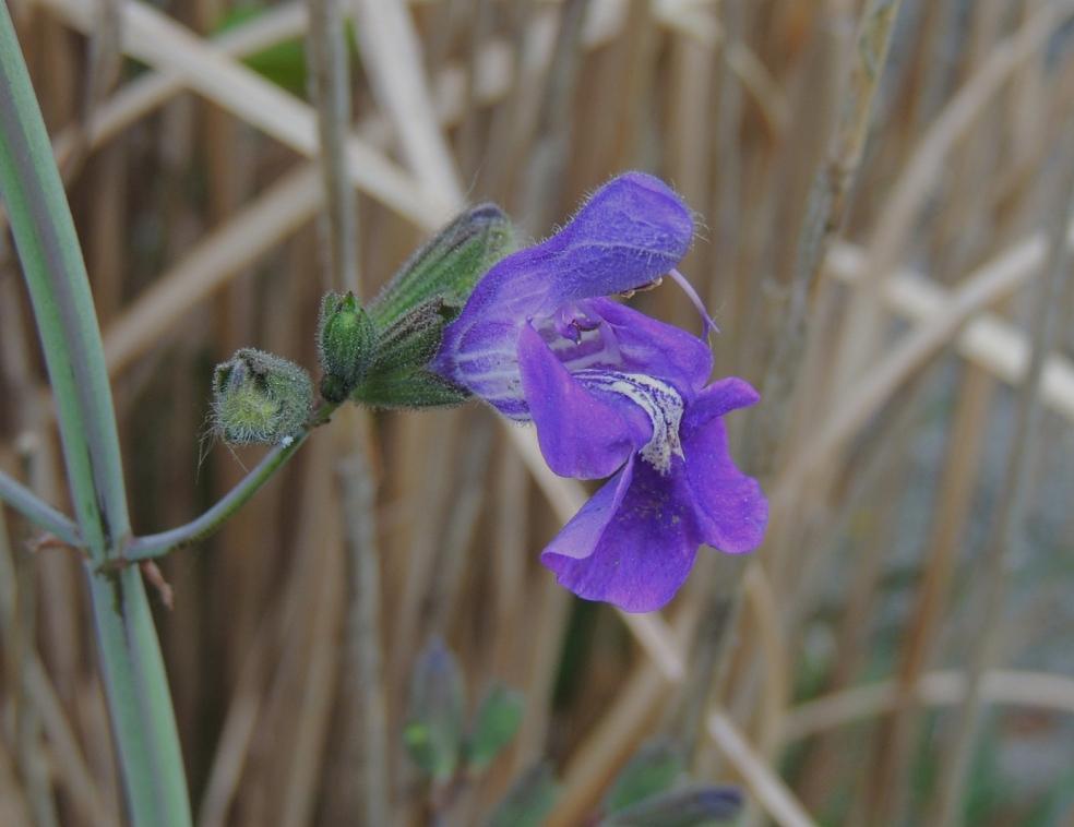 Salvia candelabrum 0419