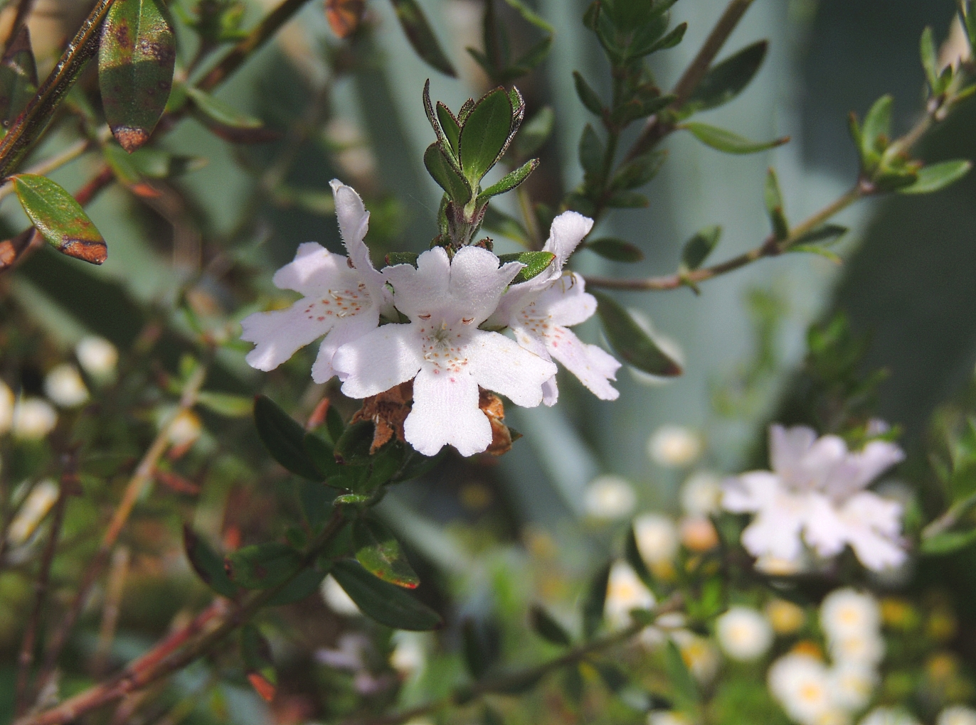 Westringia rosmarinifolius 0419