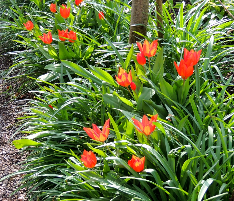 YG Tulips in sun 0419