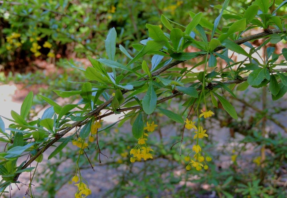 Dawyck Berberis lepidifolia 0519