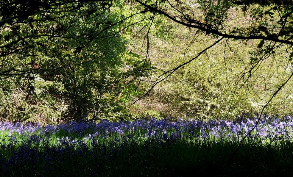 Dawyck bluebells 0519