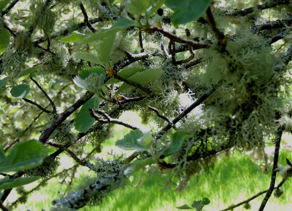 Dawyck lichen 1 0519