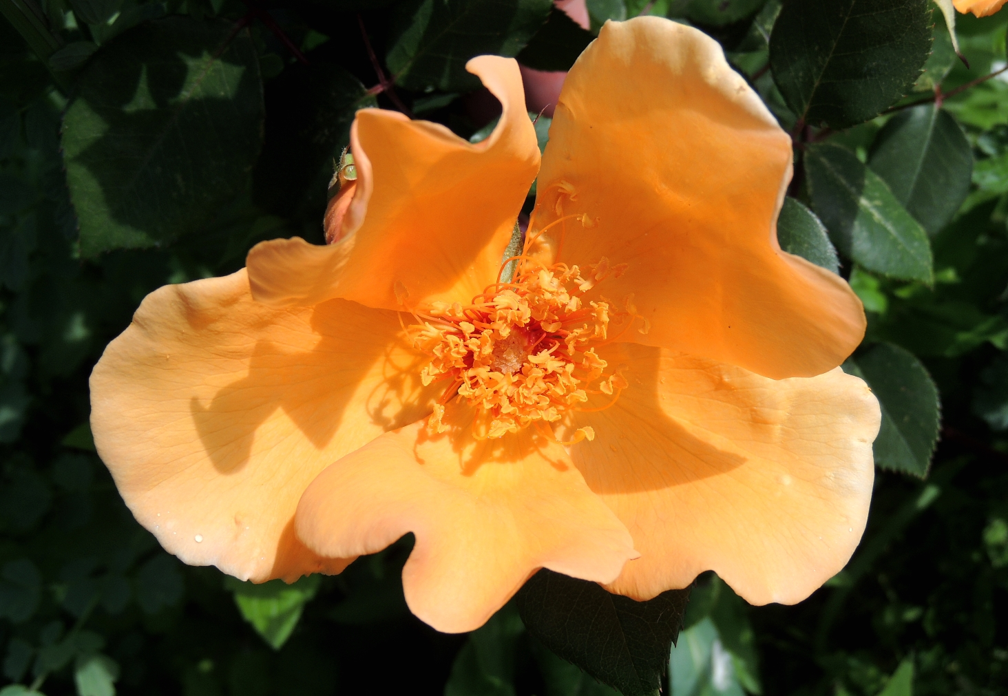 Rosa Mrs Oakley Fisher 2 0519
