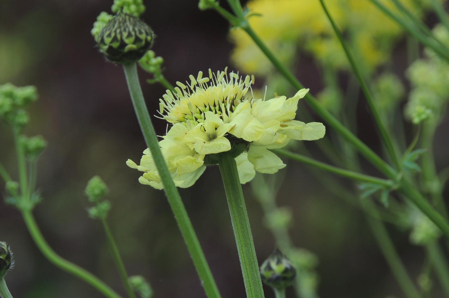 Cephalaria gigantea 0619