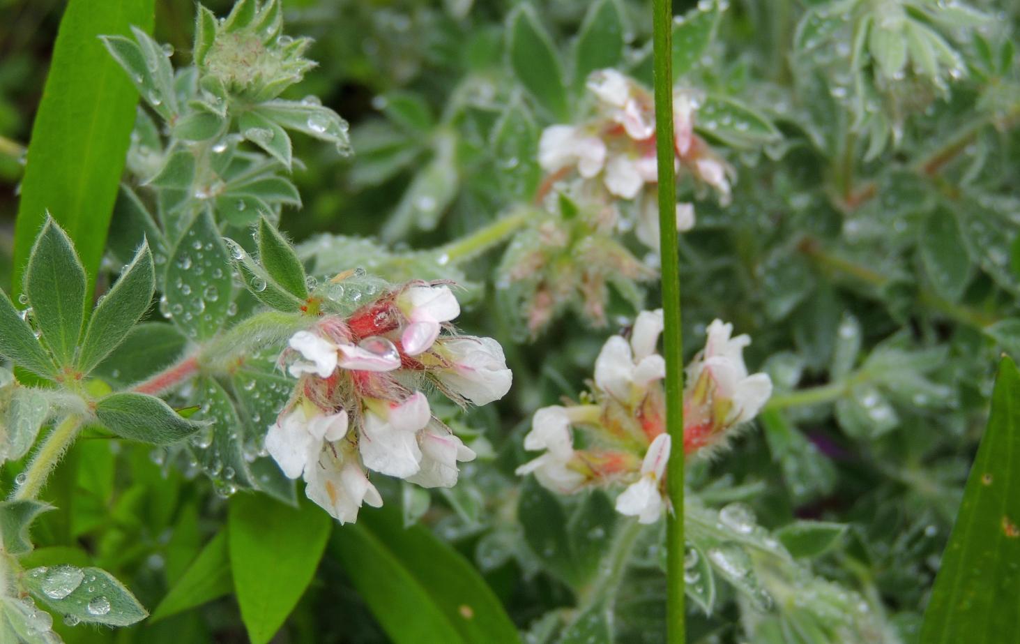 Dorynicum Frejorges 0619