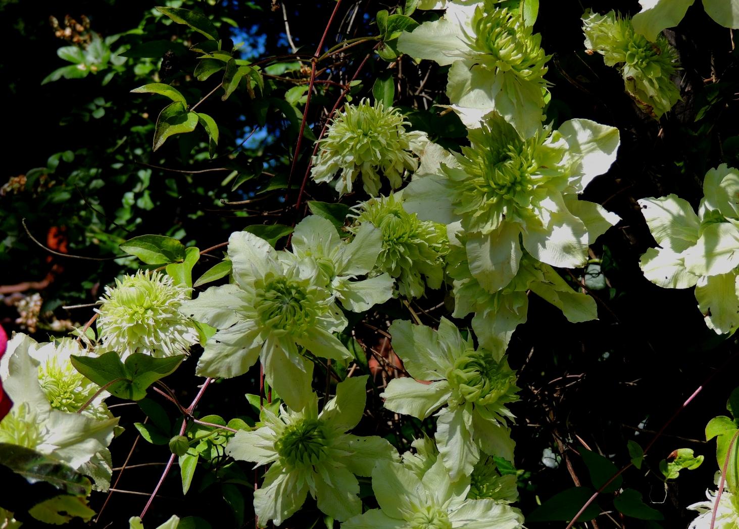 Hillen Clematis florida Alba Plena 0619