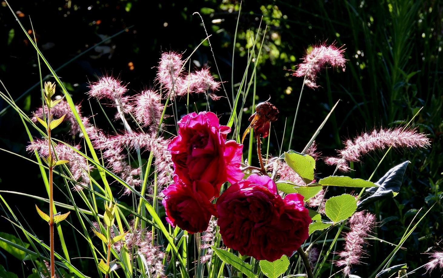 Pennisetum Karley Rose LD Braithwaite 0619