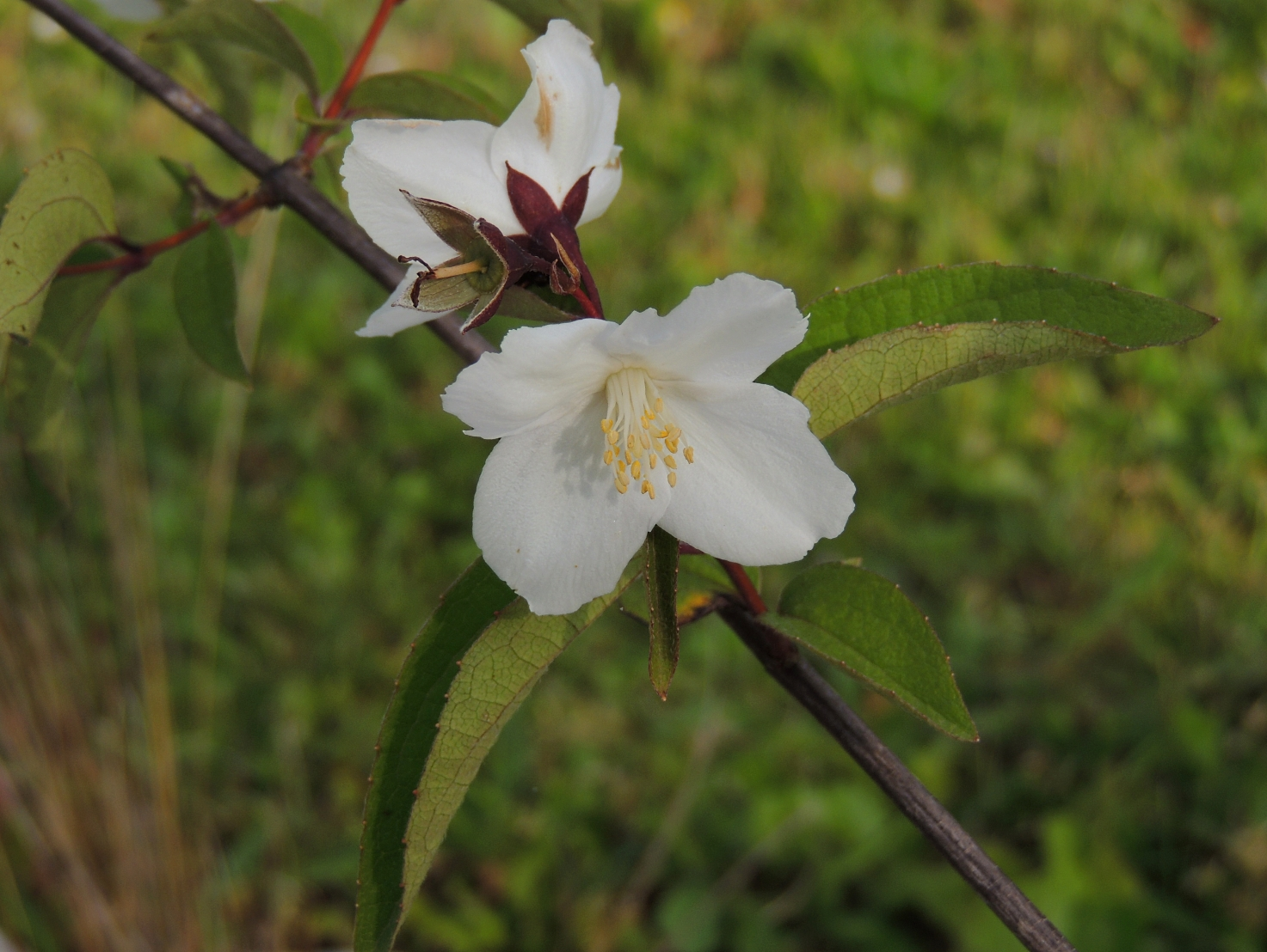 Philadelphus Starbright 2 0519