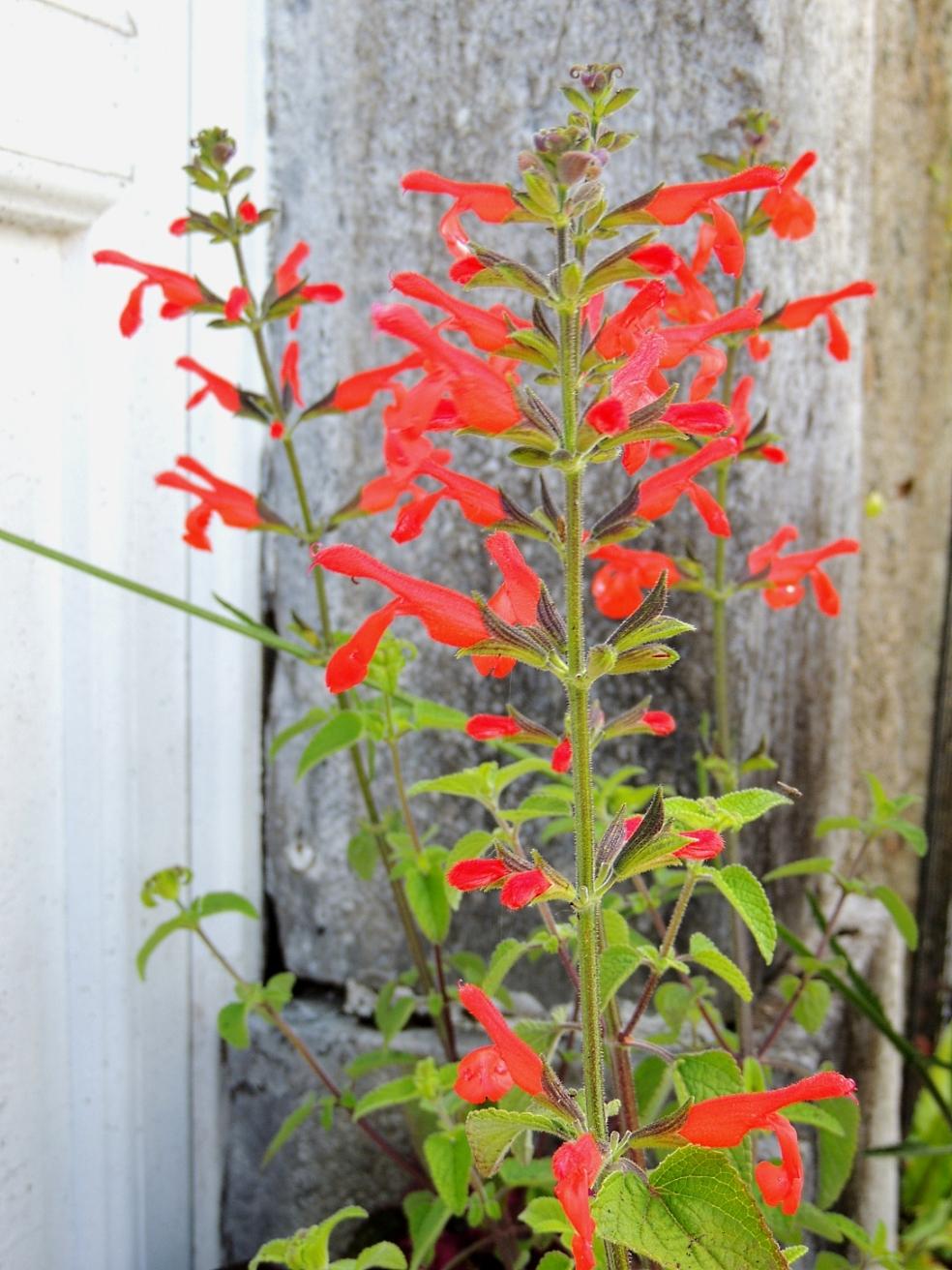 Salvia dichlamys 0619