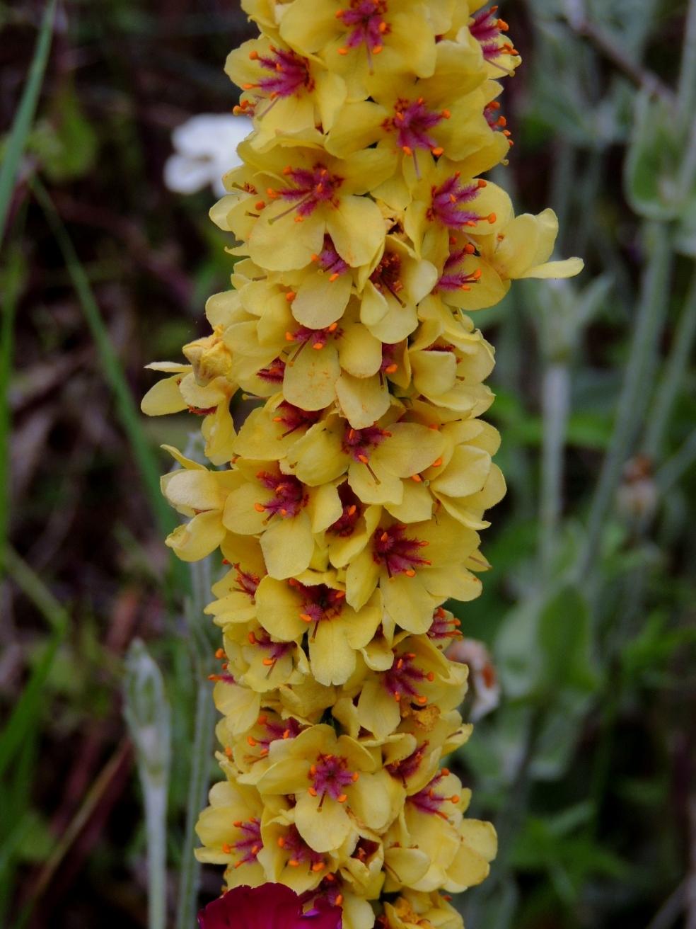 Verbascum nigrum 0619